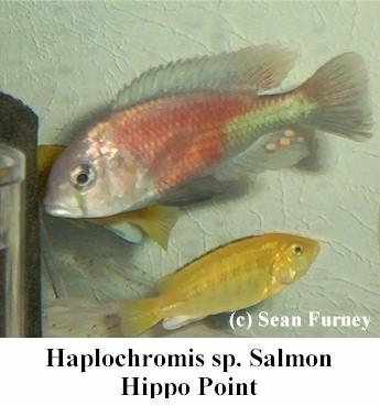https://theaquariumexchange.com/wp-content/uploads/2021/04/salmonhippopoint1.jpg (34893 bytes)